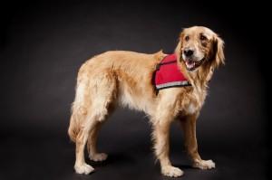Happy Golden Retriever Rescue Dog